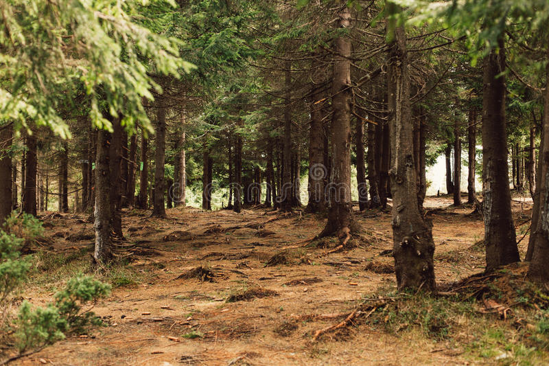 Forest of pine in the mountains stock photo