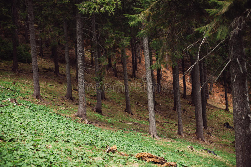 Forest of pine in the mountains royalty free stock photography