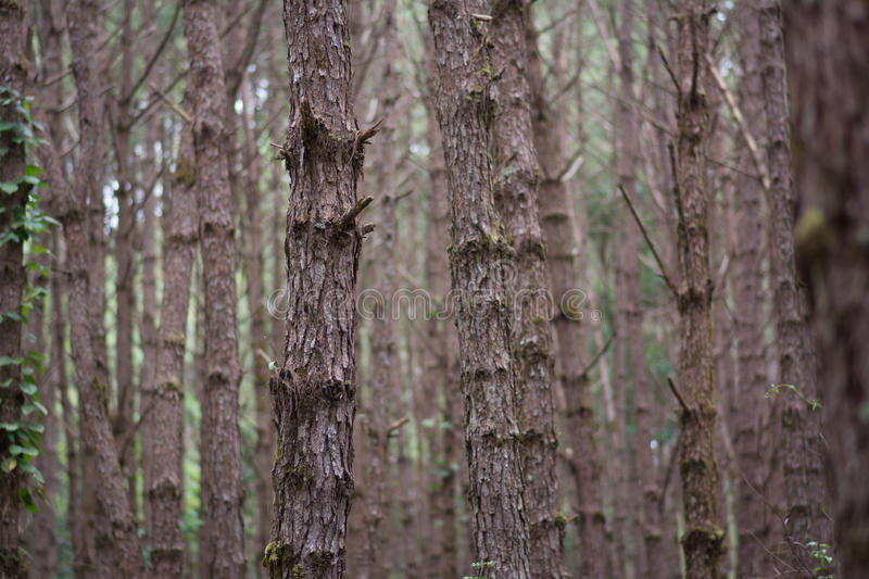 Forest pine stock photography