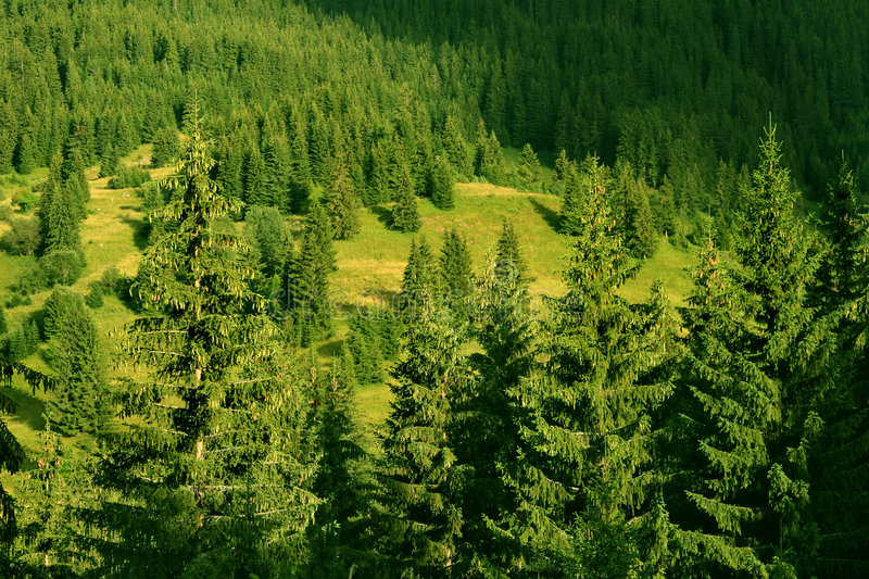 Forest of pine tree. Green forest of pine tree royalty free stock images
