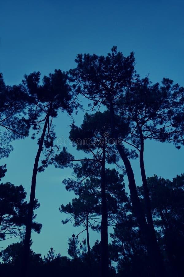 Forest Pine Trees fotografering för bildbyråer