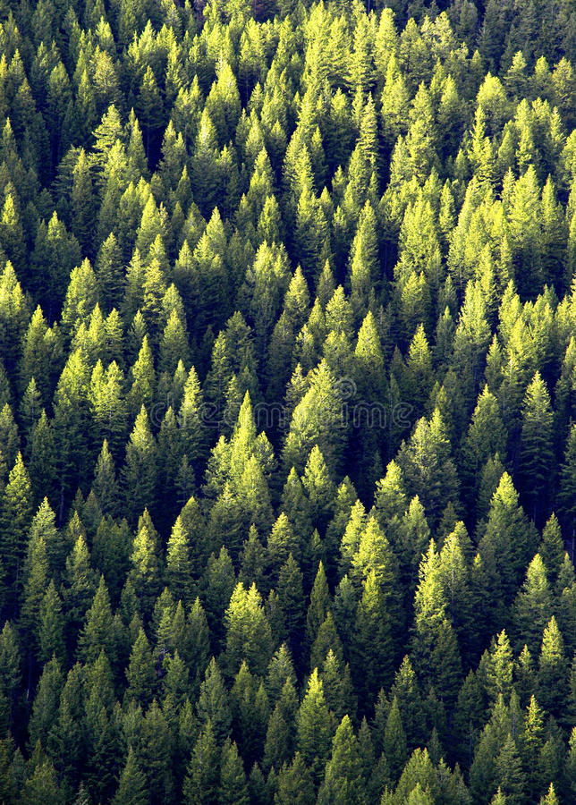 Download Forest of Pine Trees stock photo. Image of grass, light - 18723846