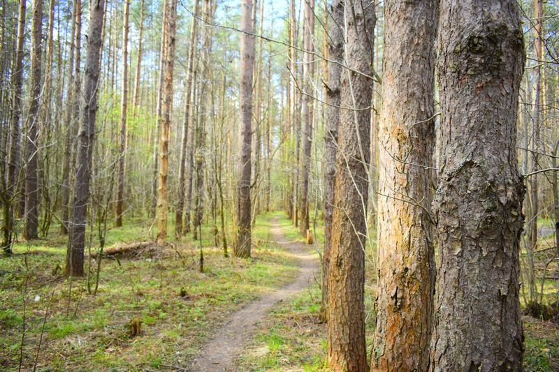 The forest of pine trees is exactly planted along the lines. Early spring. Little green grass. Sun stock image