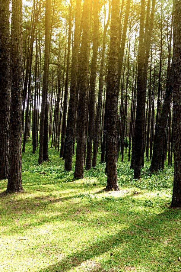 Forest Pine Trees Legno di verde della natura in autunno ed in alba immagini stock libere da diritti