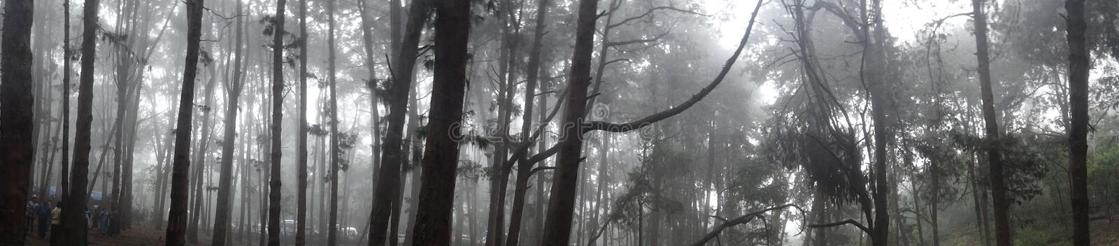 Forest of Pine trees with mist stock images