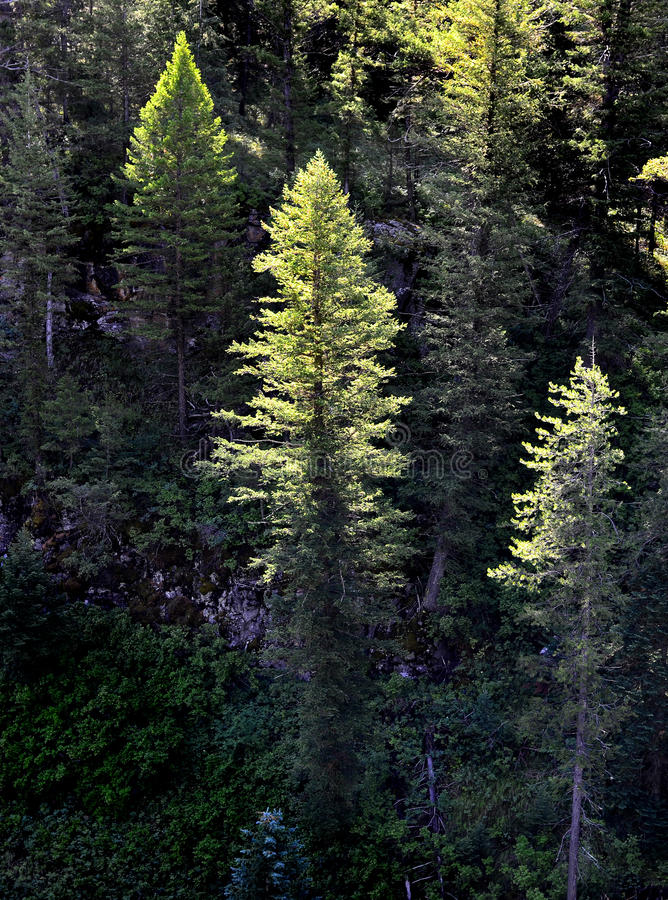 Download Forest Of Pine Trees Morning Light Royalty Free Stock Image - Image: 25878626