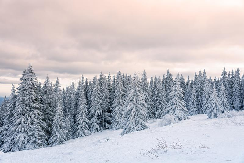 Forest pine trees in winter covered with snow in evening sunlight stock image