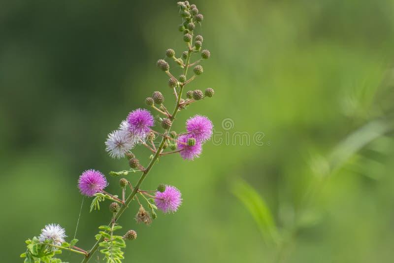 Forest Plant selvaggio delle specie della mimosa con i fiori rosa immagine stock libera da diritti