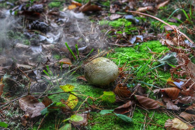 Forest puffball royalty free stock photo