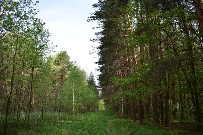 This forest is quiet and majestic, stands alone among the forests and light birch woods scattered. Here and there stock photography