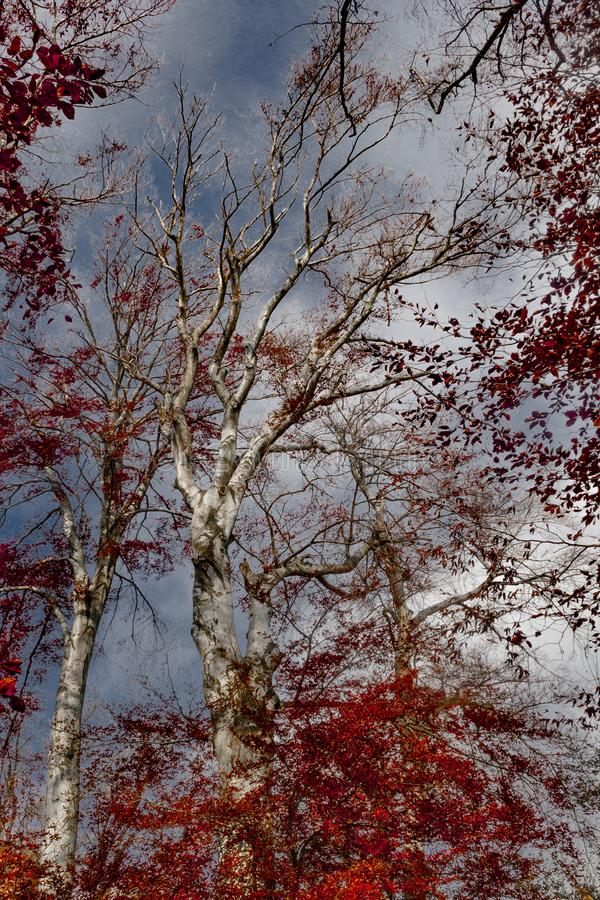 Forest with red foliage royalty free stock photo