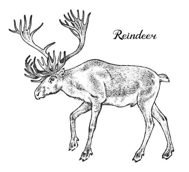 Forest Reindeer, Wild animal. Symbol of the north. Vintage monochrome style. Mammal in Europe. Engraved hand drawn vector illustration