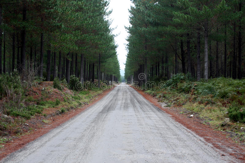 Forest Road. Straight, gravel, forest road lined with pine needles and pine trees royalty free stock image