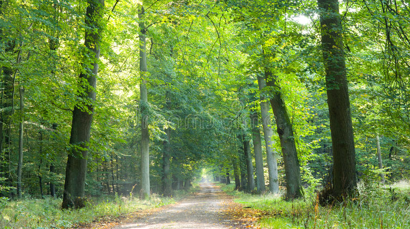 Forest road. Road through a forest in late summer with some first autumn leaves on the ground royalty free stock images