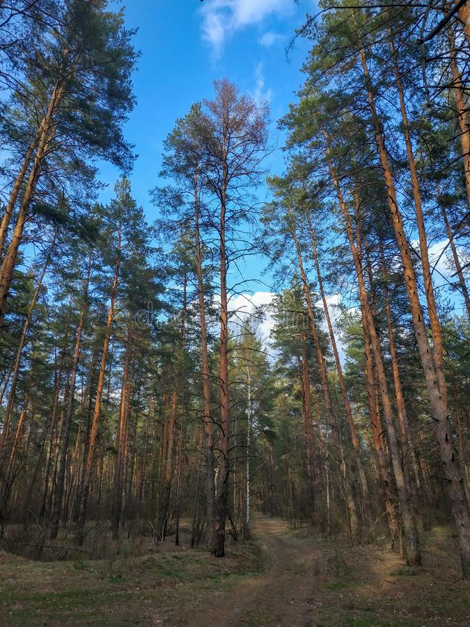 Forest road among the big pines and other trees royalty free stock photo