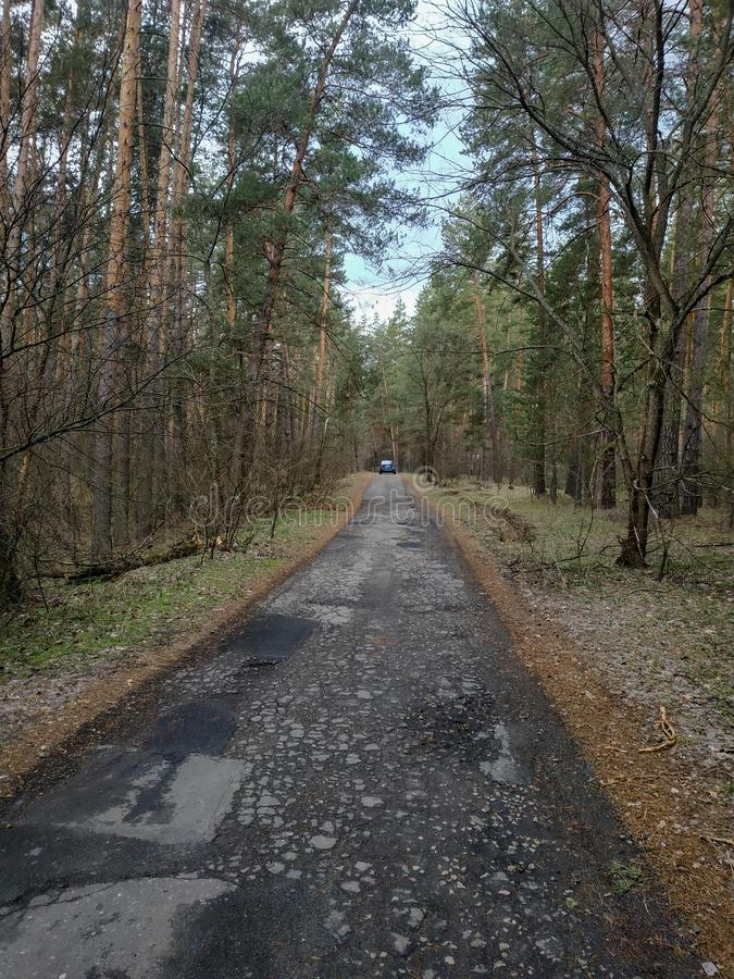 Forest road among the big pines and other trees royalty free stock images