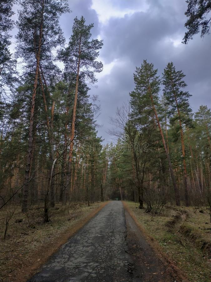 Forest road among the big pines and other trees stock photos