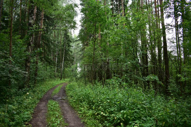 Forest road, contrasting picturesque slender trees pine, birch, Rowan, under tall trees deciduous shrubs. And herbs stock photos