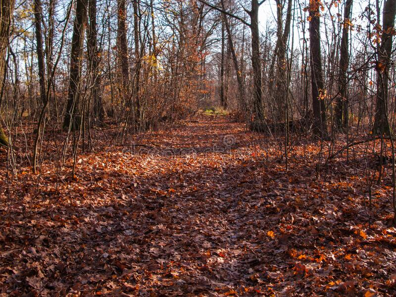 A forest road covered with a thick layer of fallen leaves. A dirt road through a deciduous forest. It is autumn, the trees are devoid of leaves. A thick layer royalty free stock image