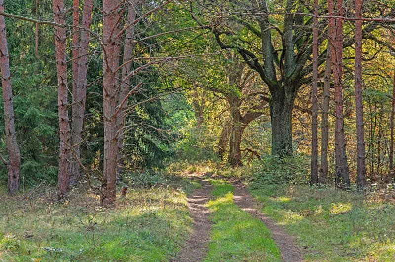 A forest road through a green forest. Unpaved forest running through a green forest. Green grass and small bushes grow between ruts and on the sides. Green stock photo