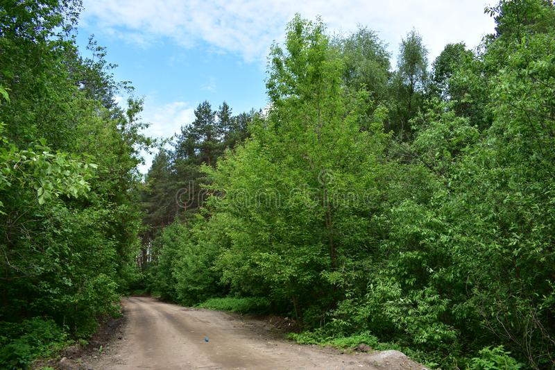 Forest, road, tall deciduous trees create a green tunnel only blue sky to be seen. The trees are monuments of wildlife stock photography