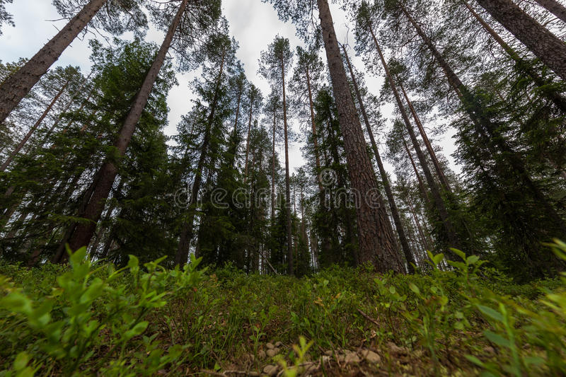 Forest scene in Finland stock photos