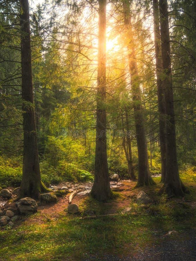 Forest Scenery With Sun Shining till och med träden royaltyfri fotografi