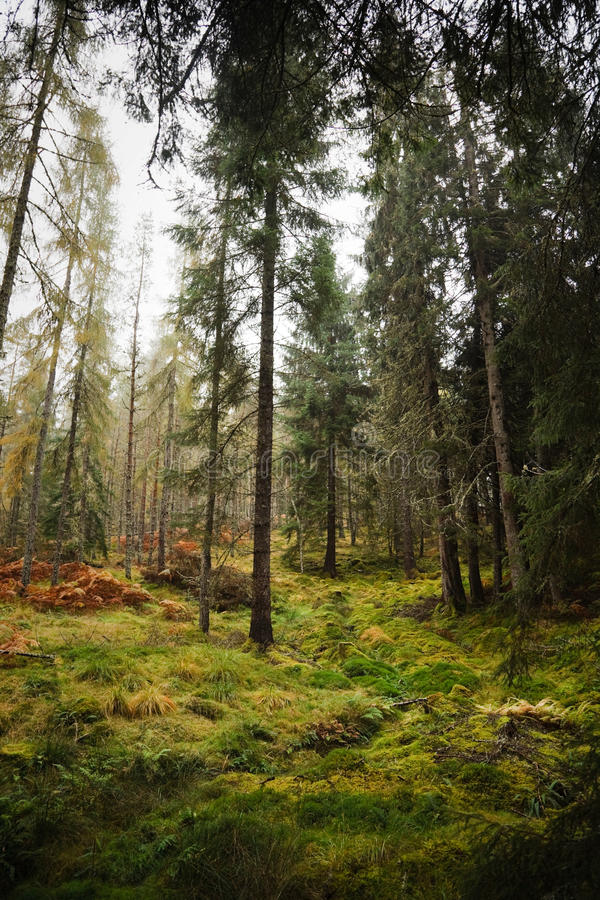 Forest in Scotland. Conifer trees in a lush green forest in Scotland royalty free stock photos