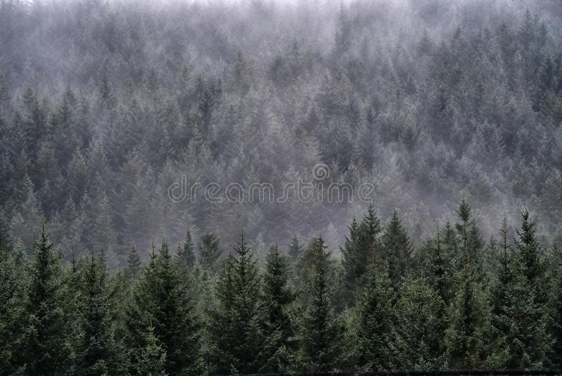 Evening mist falls over a hillside forest of Scots Pine trees, Glencoe, Scotland. A thin layer of mist Scotch mist, works it's way through a forest of royalty free stock photos