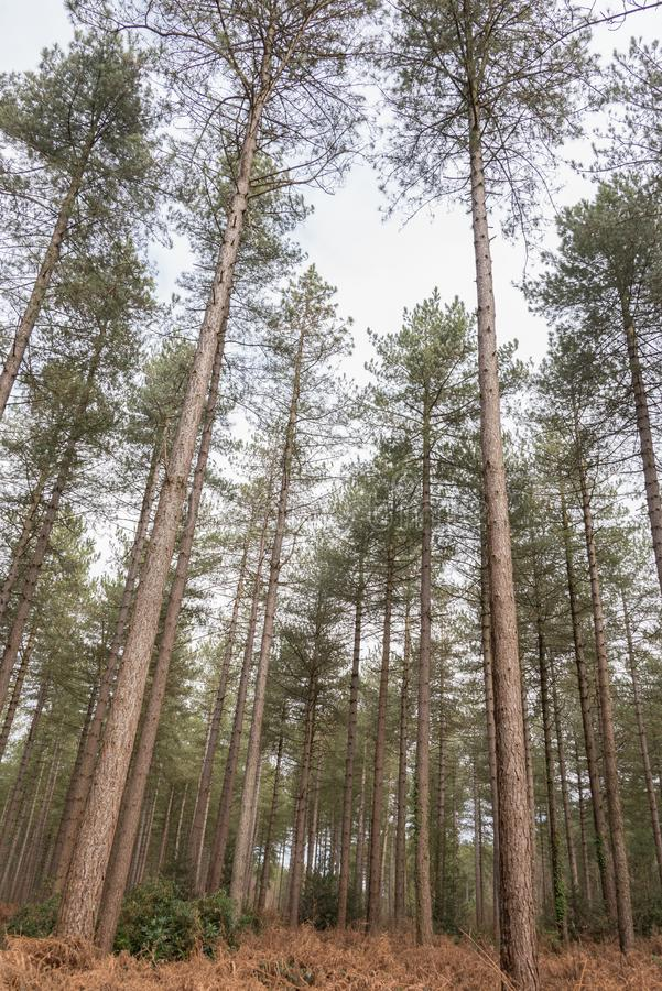 Forest Of Scots Pine Trees imagenes de archivo
