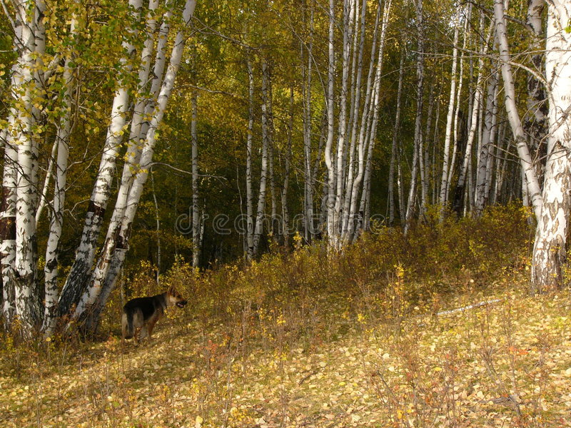 Forest of silver birch