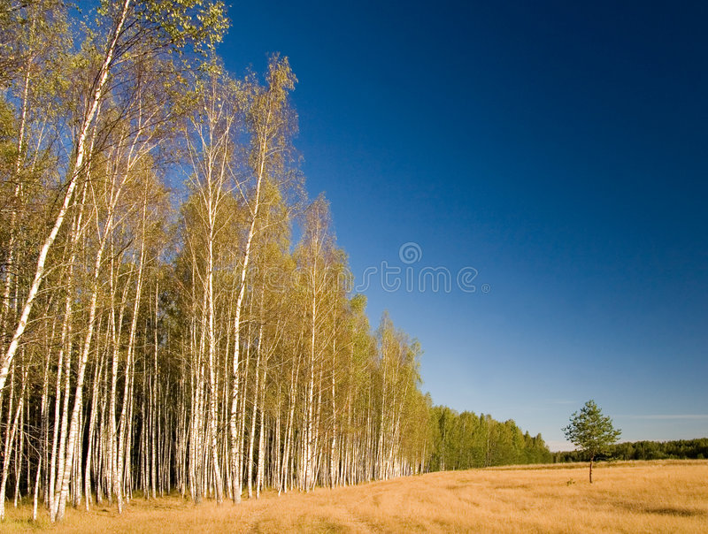 Forest and small pine-tree royalty free stock image