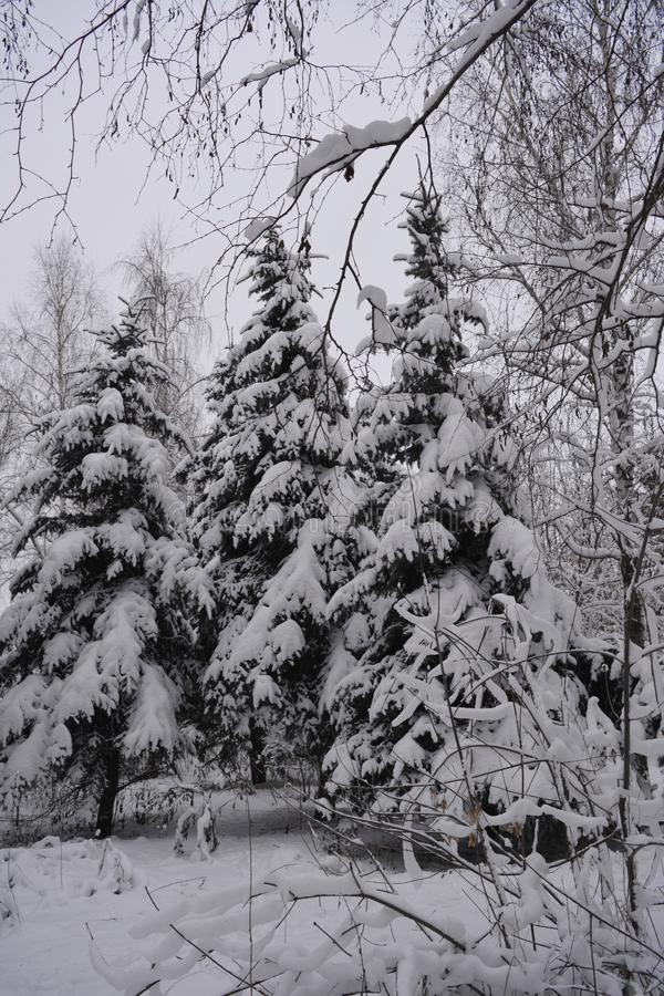 Forest in snow. Winter in Russia. Snowy spruces in overcast day.  stock images