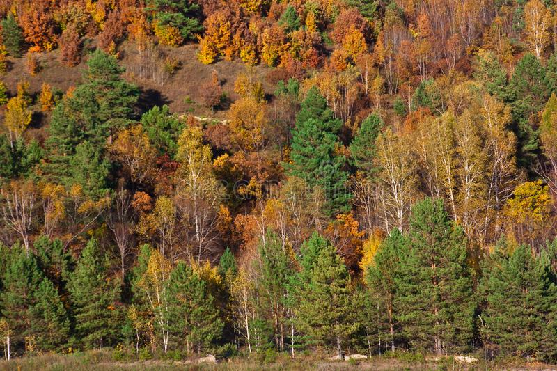 The forest stands as a wall, spruce rows, bright red Far Eastern. Far Eastern forest in autumn, bright yellow red and green colors: coniferous trees, birches and stock image