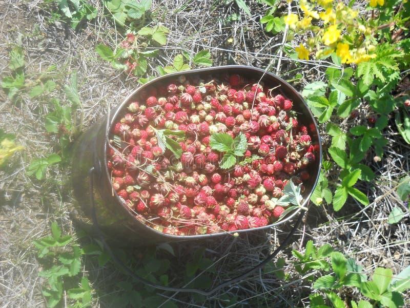 Forest Strawberries royalty-vrije stock fotografie