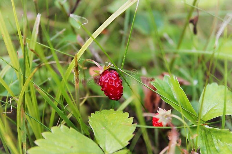 Forest Strawberries photo libre de droits