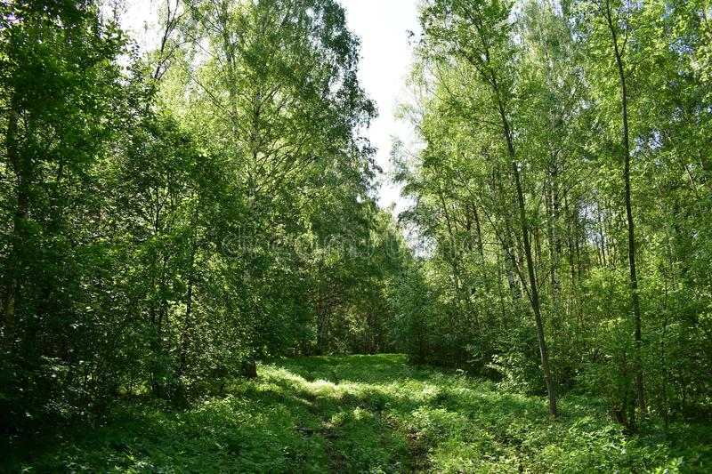 The forest in the summer charms you with its lush greenery, deep in the thicket there is a coolness and freshness. It`s nice to breathe clean air filled with stock photo
