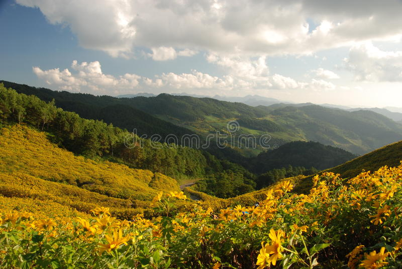 Forest sunflower field in Northern Thailand. Forest sunflower field in Mae Hongson,Northern of Thailand royalty free stock photo