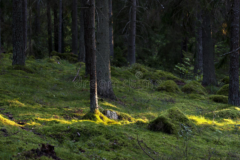 Forest With Sunlight Royalty Free Stock Photos