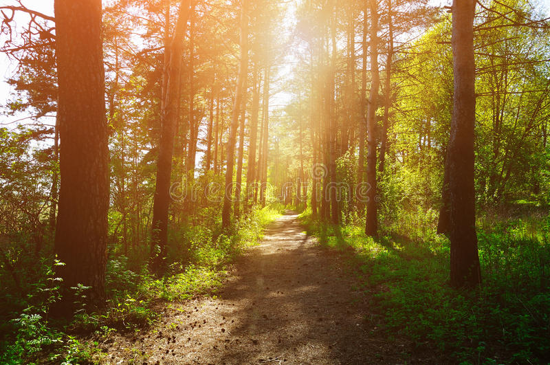 Forest sunny landscape - trees row and pathway lit by bright sunlight. Spring colorful forest landscape royalty free stock photos