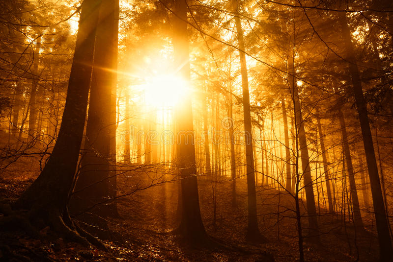 Download Forest at sunset stock image. Image of tree, beam, underwood - 36699305