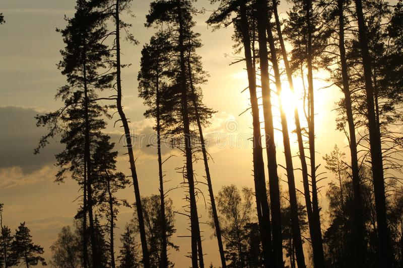 Forest in the sunset royalty free stock image