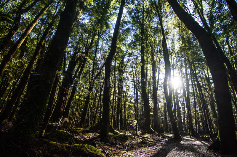 Forest. The sunshine scattered in the crevice of the forest stock images