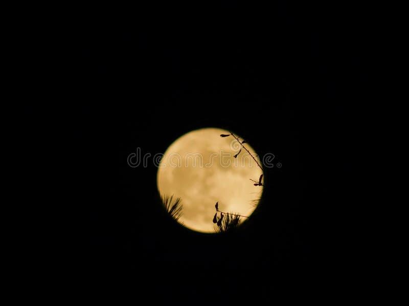 Forest Super Moon fotografia de stock royalty free