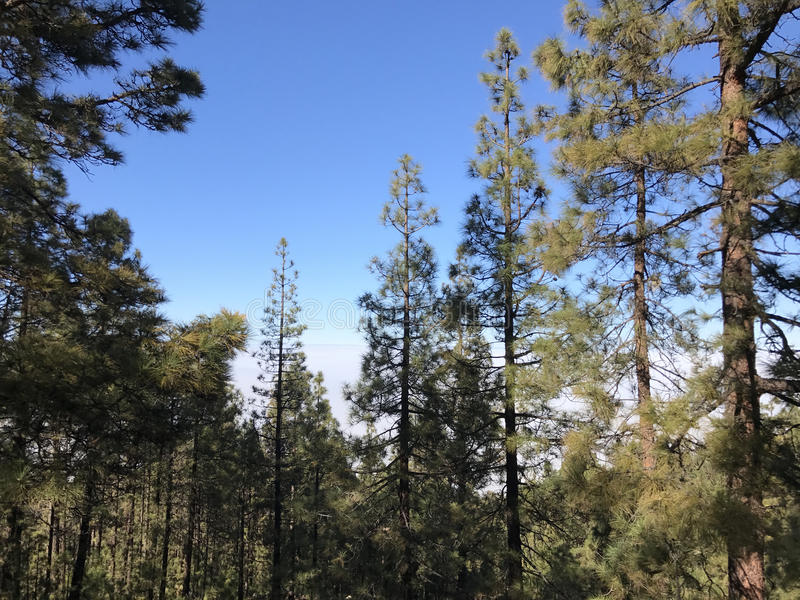 Forest at Teide National Park. Forest above the clouds at Teide National Park on Tenerife royalty free stock photo