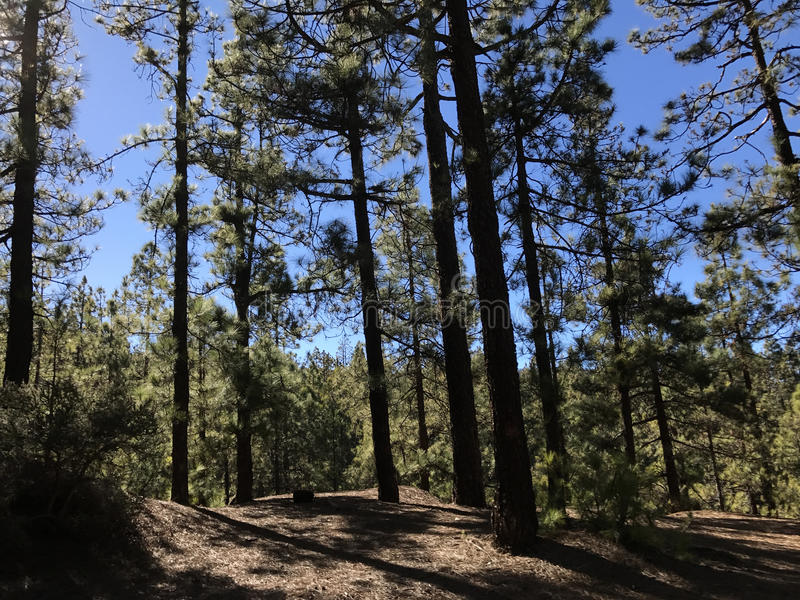 Forest at Teide National Park. On Tenerife stock image