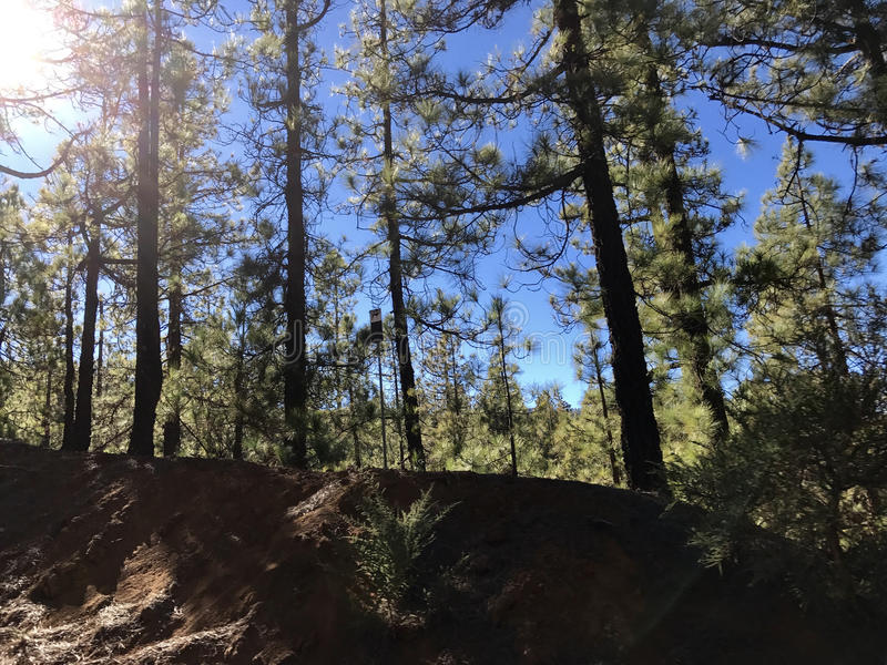 Forest at Teide National Park. On Tenerife stock photography