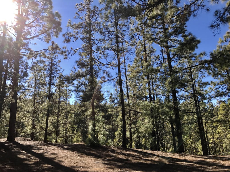 Forest at Teide National Park. On Tenerife stock photo