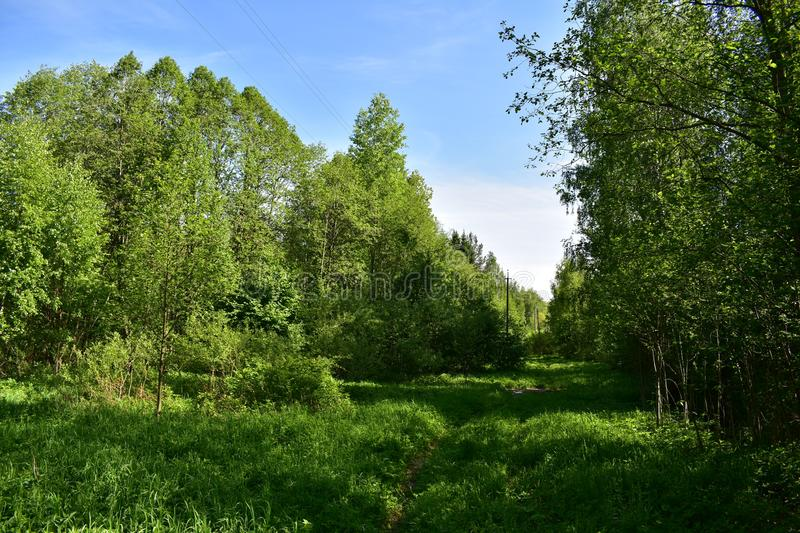 Forest thick crowns of trees barely breaks through the sunlight. Grow well various herbs and shrubs stock photos