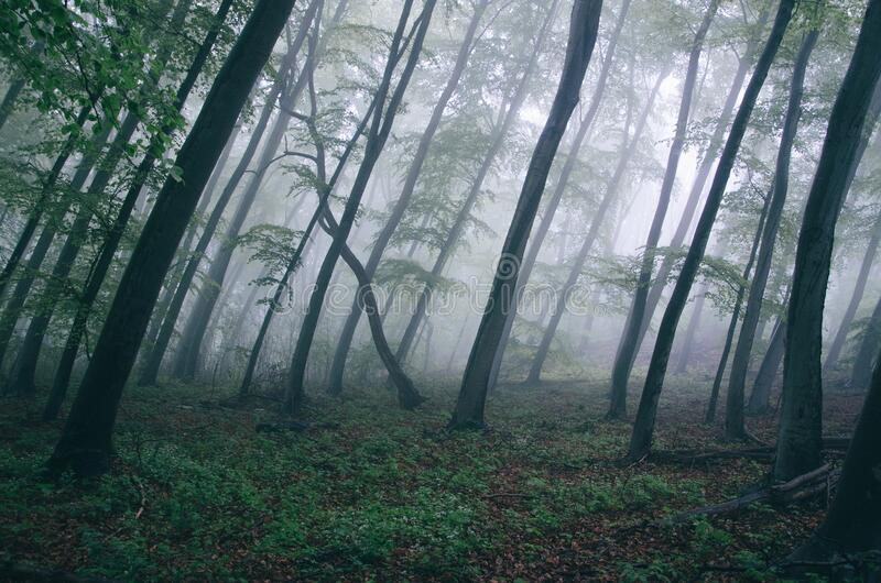 Forest With Thick Fog Free Public Domain Cc0 Image